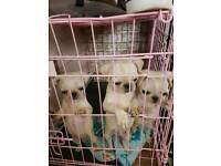 Full pug puppies