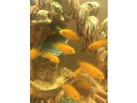 Fish Malawi