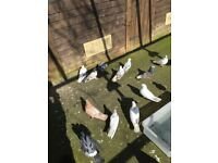Iraninan high flying pigeons job lot (19 pigeons) in Bristol £250 for the lot .