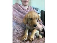 Labrador girl pup