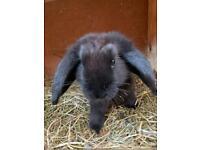 Mini lop 12 week old rabbits