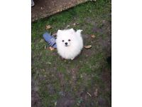 Puppy boy Pomeranian