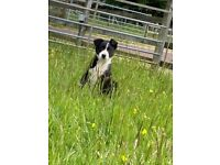 Beautifully Marked Border Collie.