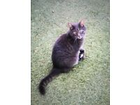 LOST GREY CAT