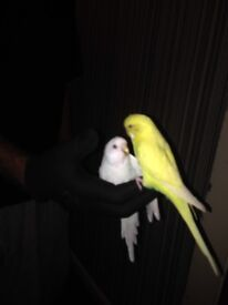 2 budgies + cage for £60