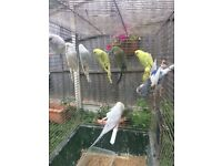 Beautiful Best baby Budgies, 2 new unused cage for extra cost