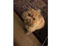 Cat show champion for sale. Pedigree Persian Exotic