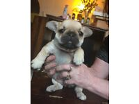 Female KC Registerd French Bull dog puppies