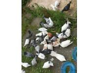 Pigeons for sale each £15
