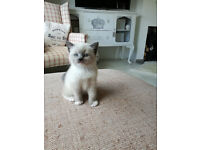 2 Beautiful kittens for sale (female , Ragdoll cross)