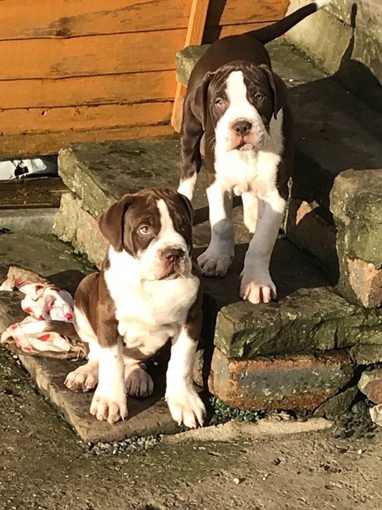 Old Tyme Bulldog Puppy