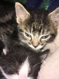 LOVELY TABBY KITTENS READY TO FIND A NEW HOME
