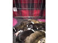 La-Chon Pups Lhasa x Bichon