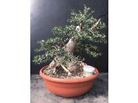 Quality Yamadori Wild Olive Bonsai