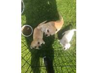 Little Chihuahuas