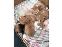 Adorable British Shorthair and Persian cross kittens. Stunning