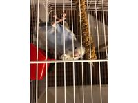 4 baby budgies for sale