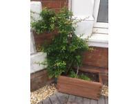 Large shrub in planter