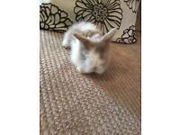 Fawn and white split doe blue eyed baby lionhead rabbit