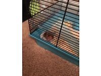 Baby hamster free to a good home + cage