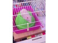 Hairless male rat with cage £20