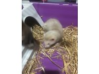 FERRETS X2 MALE AN FEMALE WITH CAGE