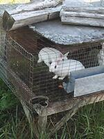 i have hotot rabbit for sale 10$ each