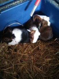 3 bqby guinea pigs for sale ready soon