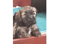 Litter lhasa apso cross poodle