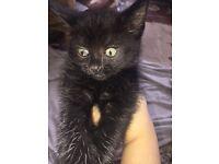 Playful black kitten for sale