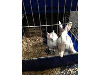 2 free Rabbits