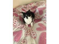 B&W male kitten for sale