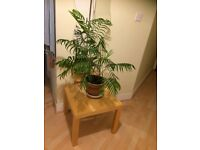 Gorgeous Indoor Palm Plant For Sale