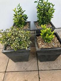 Four Outdoor Garden live/real evergreen plants/shrubs with pots.