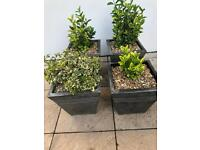 Euonymus Evergreen plants £40 each or three for £100 - No offers