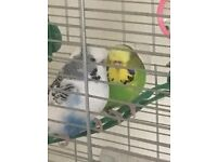 2 budgies with large cage