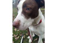 7month old Bullmastiff X Staffy puppy for sale