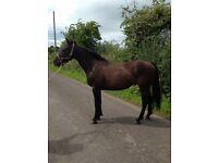 15.1h 7yo Irish Sports Horse gelding by Forest View Clover