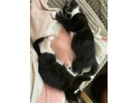 Two male kittens MUST GO TOGETHER £300 together