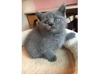 Beautiful Blue British Shorthair Kittens