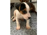 Last of litter Jack Russell puppy