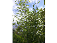 Bamboo Plant - - Bush - tree Wimbledon, SW19 £ 35 each clump