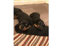 Pure bred Rottweiler puppies