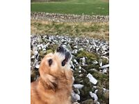 WALKIES Dog Walking Service - Caring friendly Service - Insured - Vetted - Galashiels/Melrose Areas