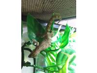 3 adult mourning geckos and full set up viv