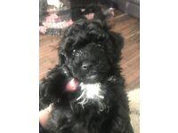 2 female black poochon puppies for sale