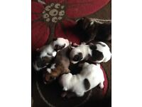 Staffy puppies for sale 2 girls an 3 boys