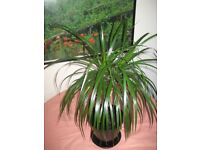 50% OFF! mature healthy multi stemmed Madagascan Dragon Tree (Dracaena) indoor plant