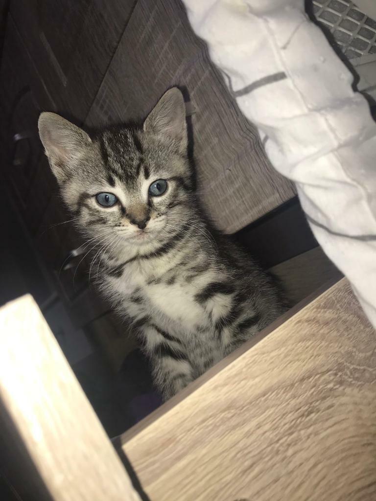 Ragdoll Kittens For Sale   in Huddersfield, West Yorkshire   Gumtree
