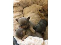 Tiny KC Reg Chihuahua Pups, Lilac Smooth Coat